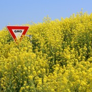 http://www.draxe.com/wp-content/uploads/2012/10/GMOcanola.jpg